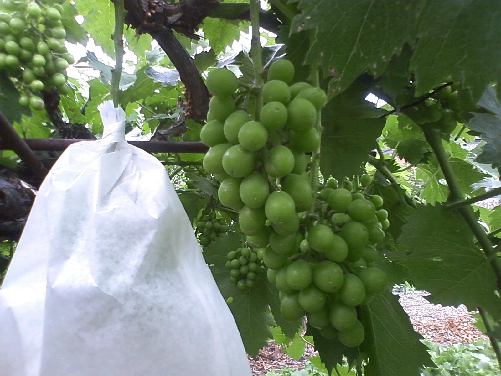 今日は葡萄